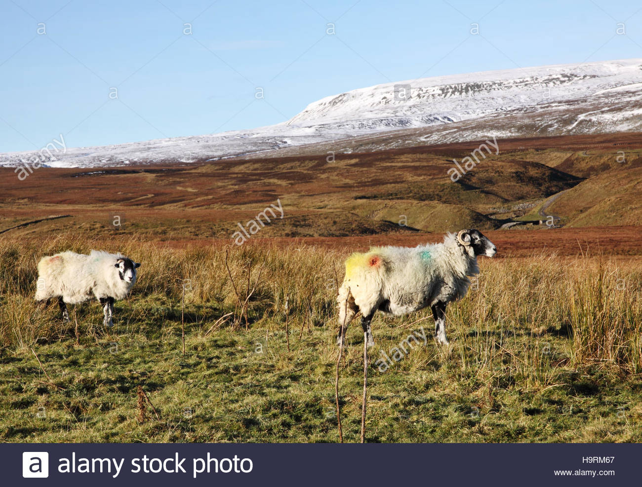 Wemmergill Moor, Lunedale, Co Durham UK 26th November 2016 The colourful Swaledale sheep enjoy the morning sun which - Stock Image