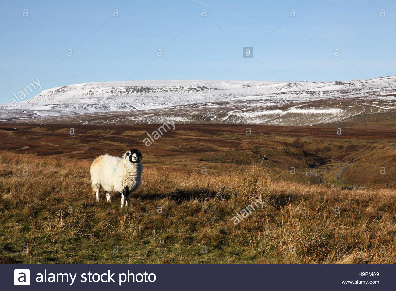 Wemmergill Moor, Lunedale, Co Durham UK 26th November 2016 The colourful Swaledale sheep enjoy the morning sun which Stock Photo