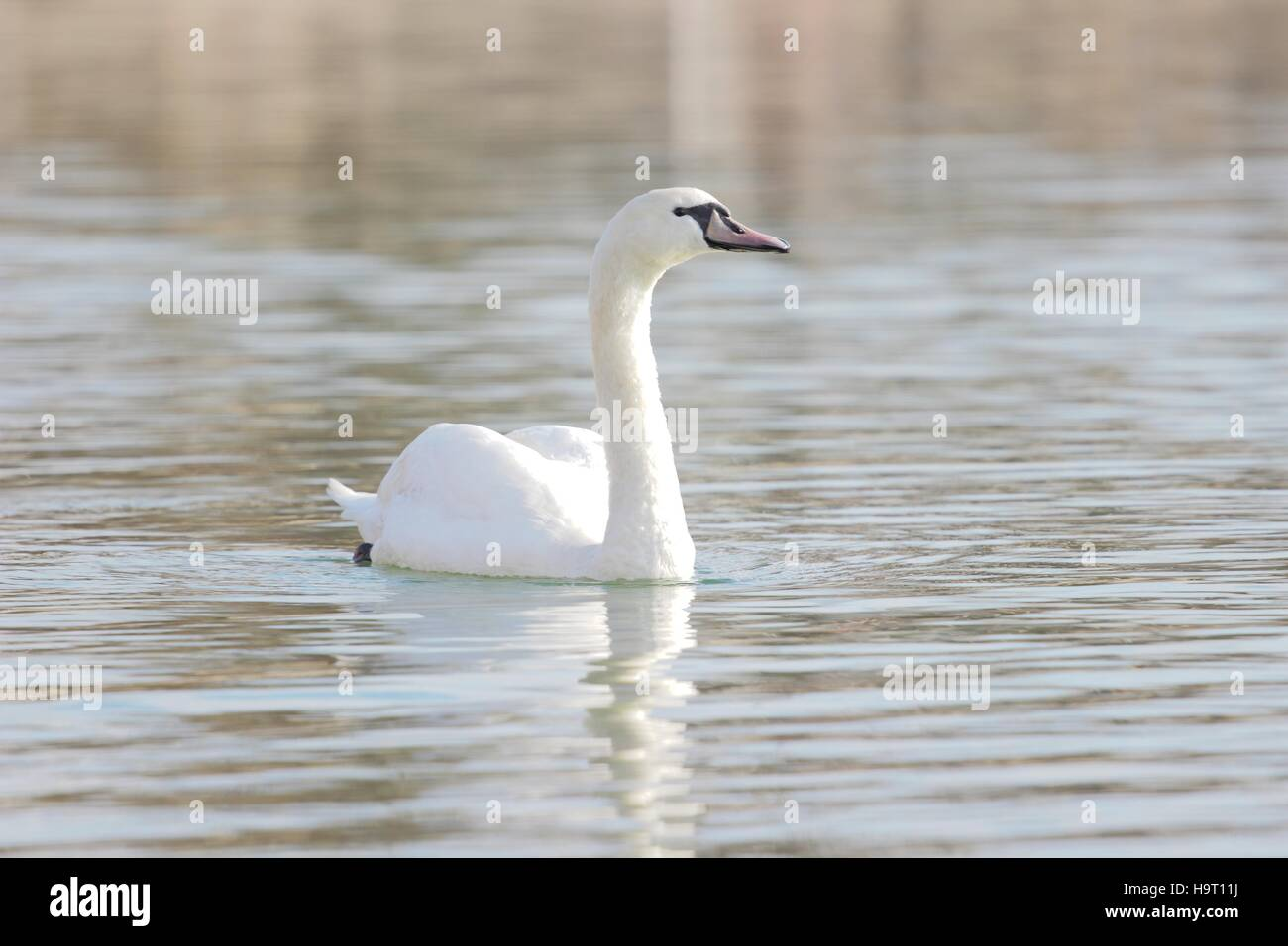 Mute swan (Cygnus olor) on the lake - Stock Image