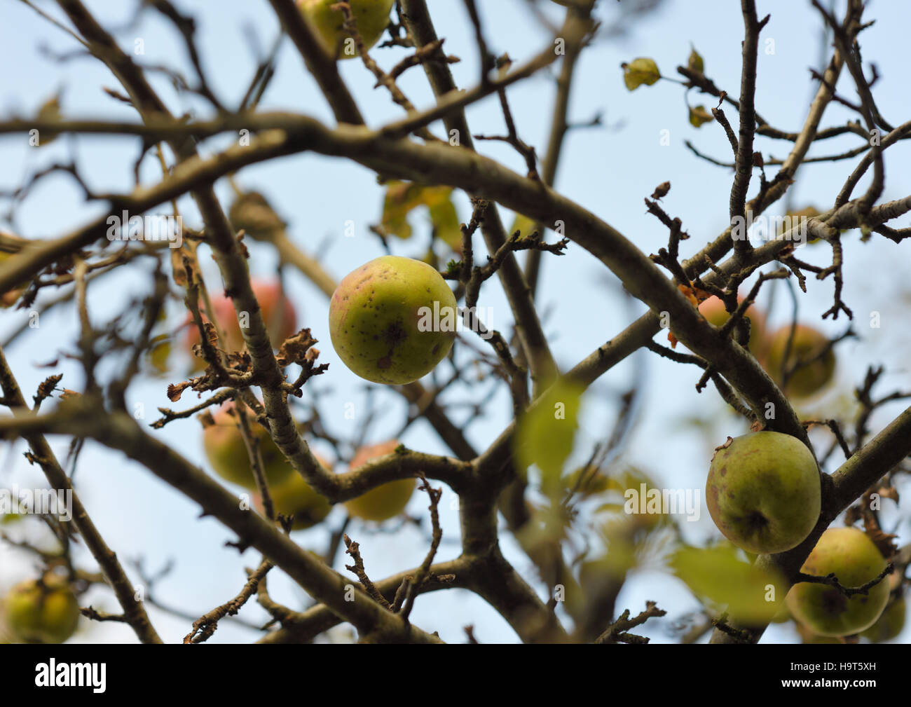 apples past their best on tree - Stock Image