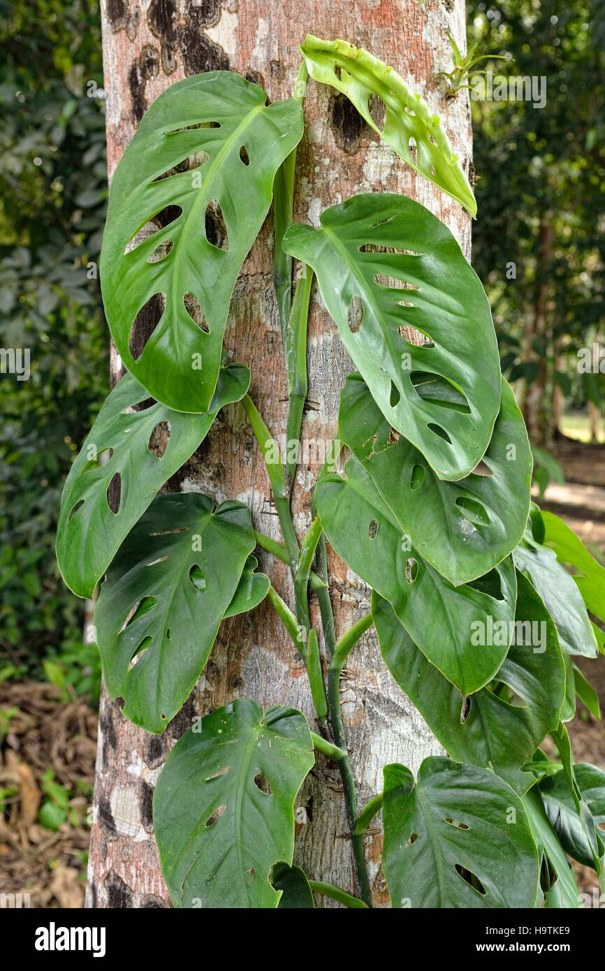 Philodendron (Monstera obliqua), swiss cheese vine, growing on tree trunk in rainforest, ancient Maya city Yaxchilan, - Stock Image