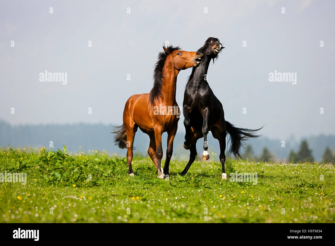 Morgan Stallion and Warmblood Stallion playing, meadow, Austria - Stock Image