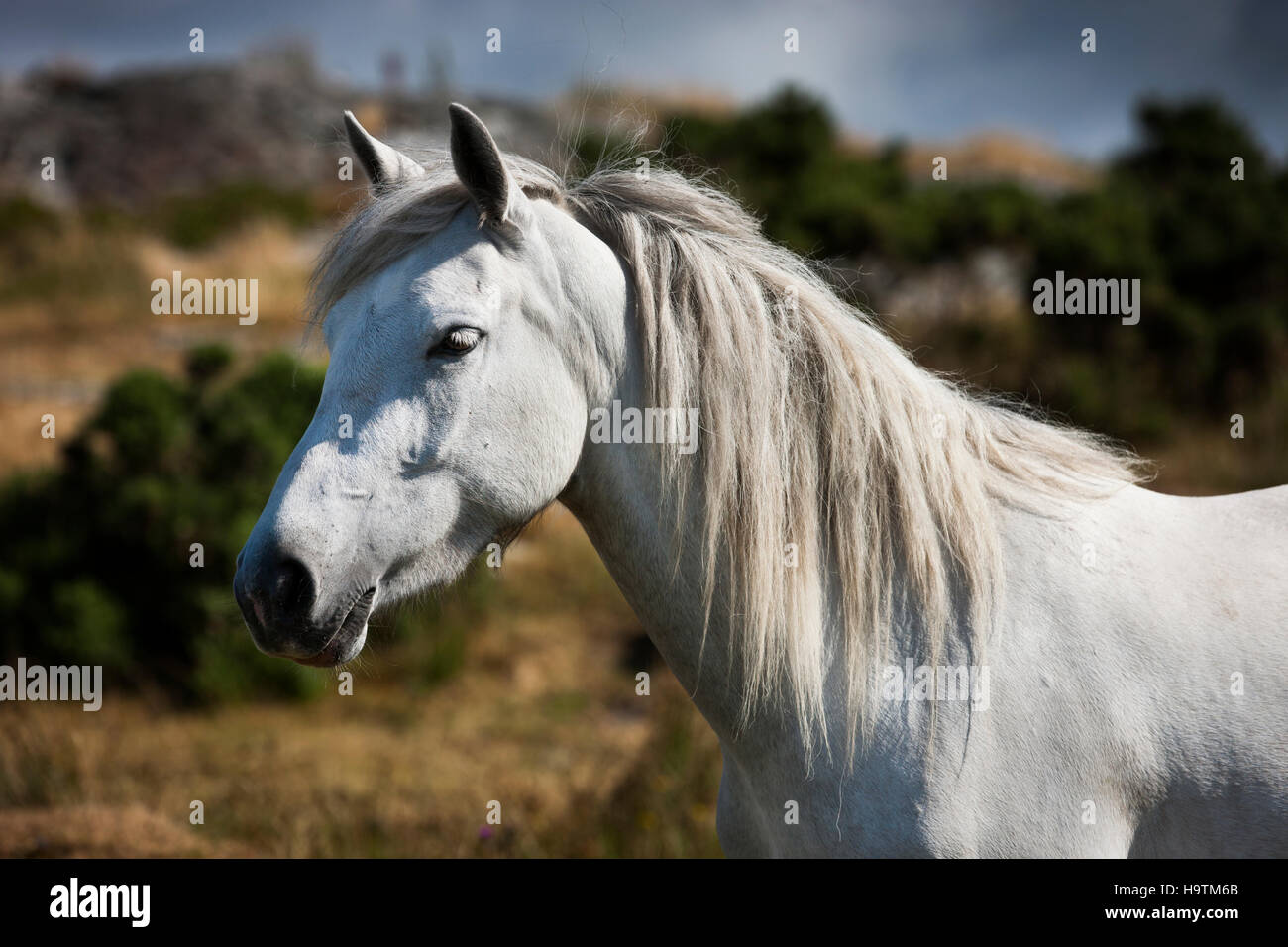 Connemara pony stallion, Connemara, Galway, Ireland - Stock Image