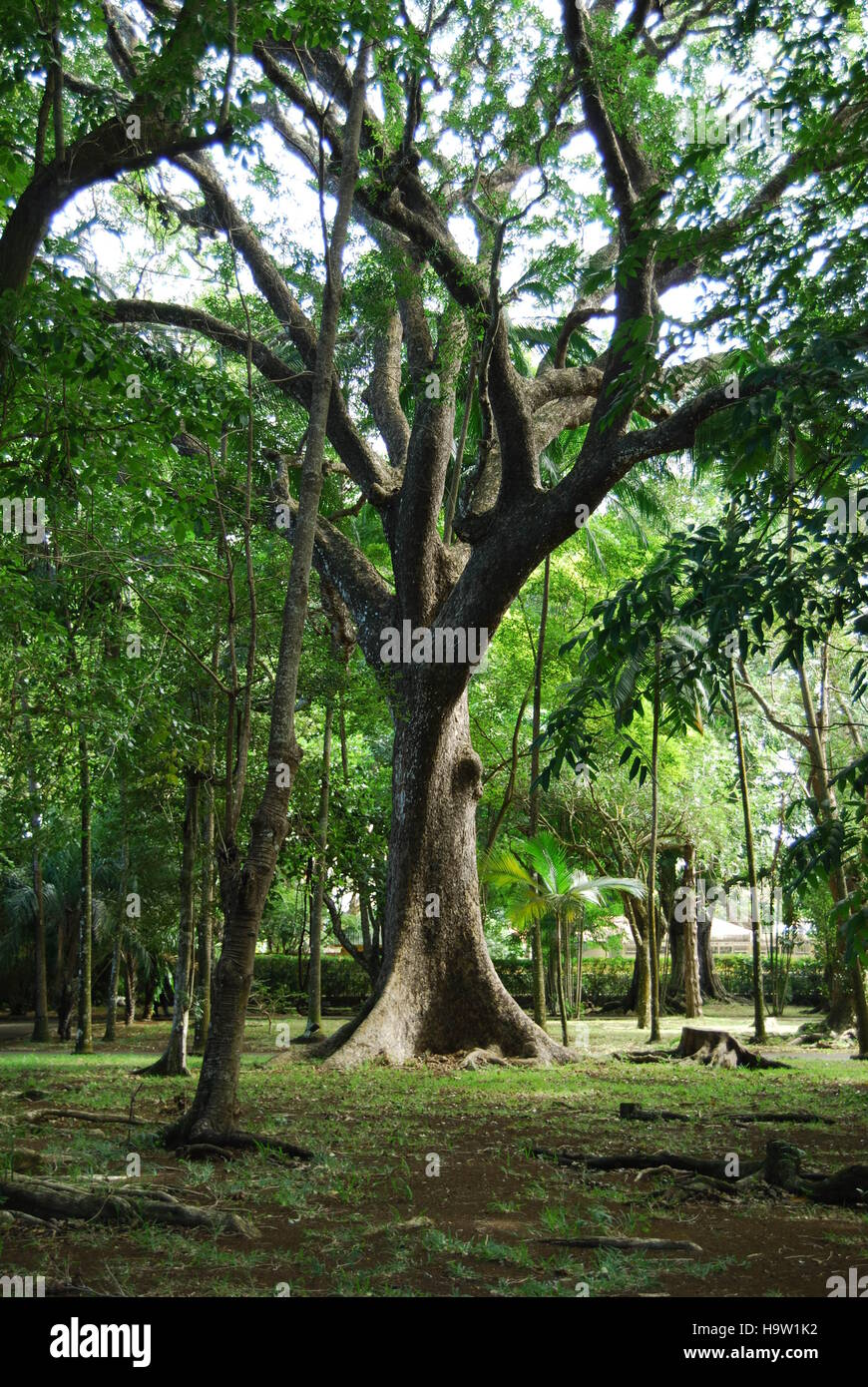 big tree with wide roots - Stock Image