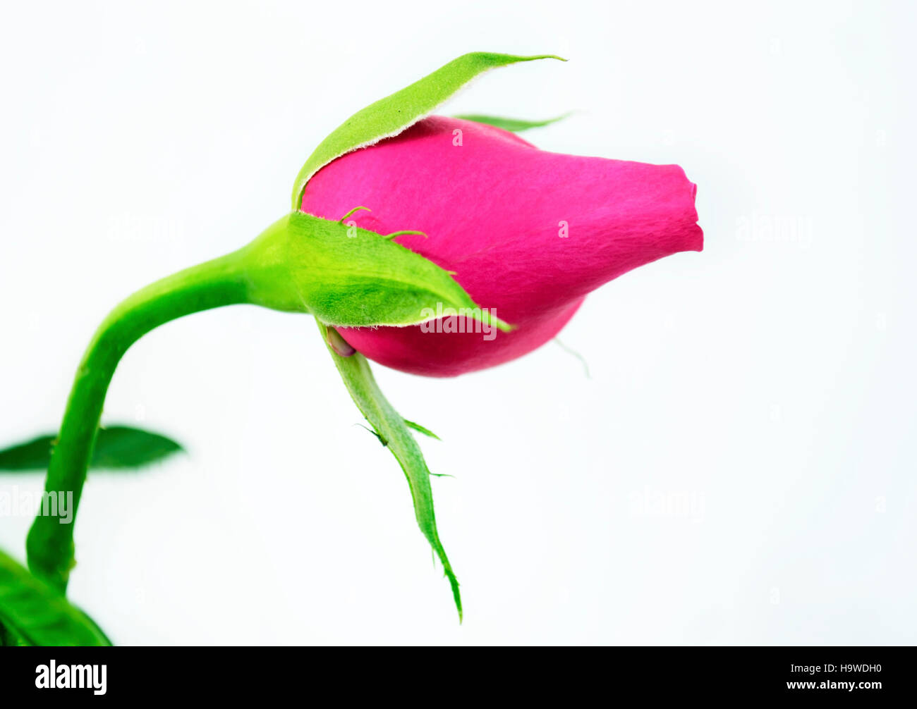 angled view of a pink bud rose - Stock Image