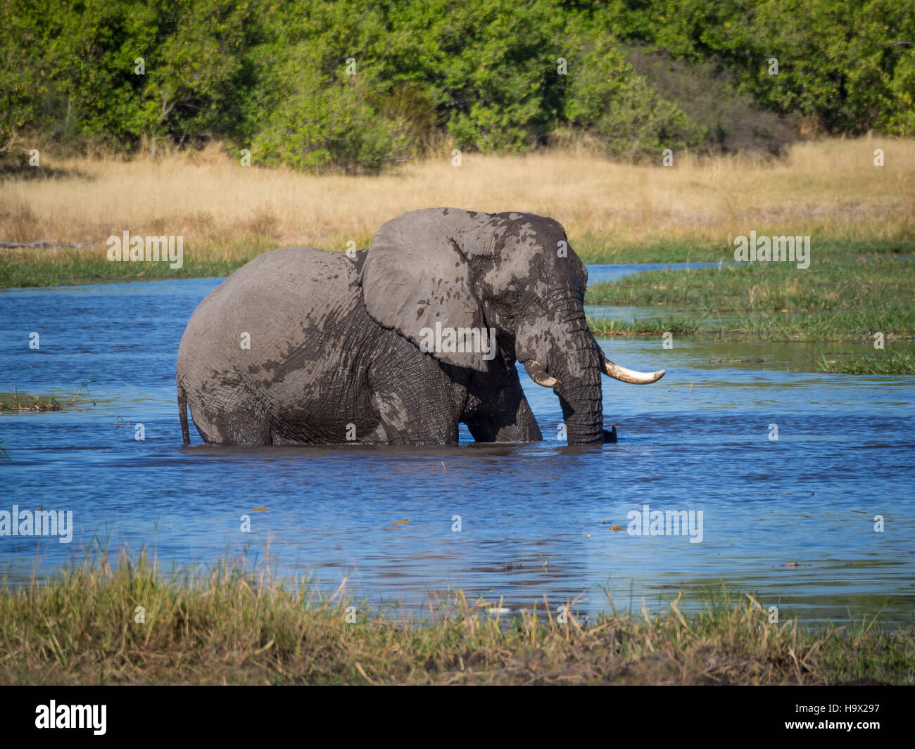 Huge African elephant bull wading through and drinking from river water, safari in Moremi NP, Botswana - Stock Image
