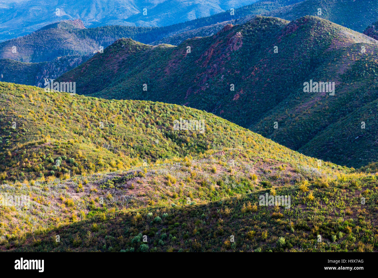 A young oak tree forest covering mountainsides in the Mazatzal Mountains. Tonto National Forest, Arizona - Stock Image