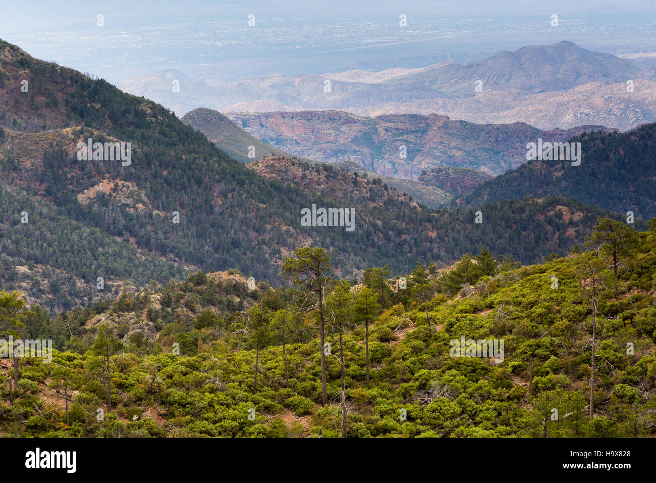 Urban sprawl from Cave Creek visible below ponderosa pine trees deep in the Mazatzal Mountains. Mazatzal Wilderness, - Stock Image