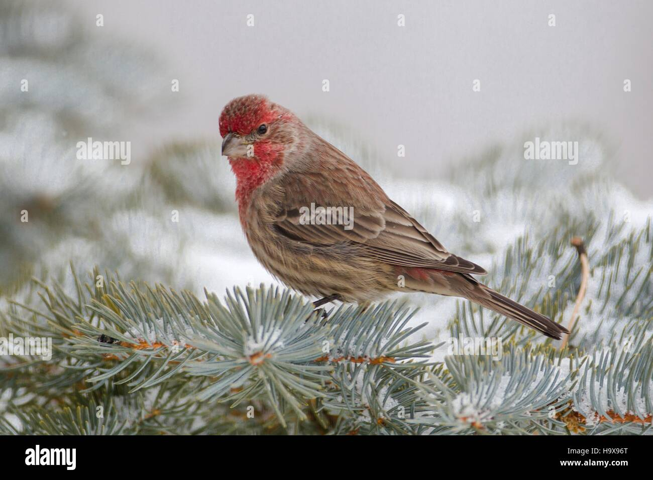 A male house finch perches on a pine tree at Eagle Cliff Mountain in