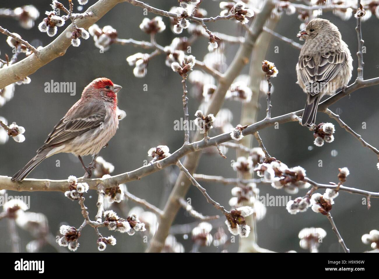 House finches perch on an Aspen tree at Eagle Cliff Mountain in the