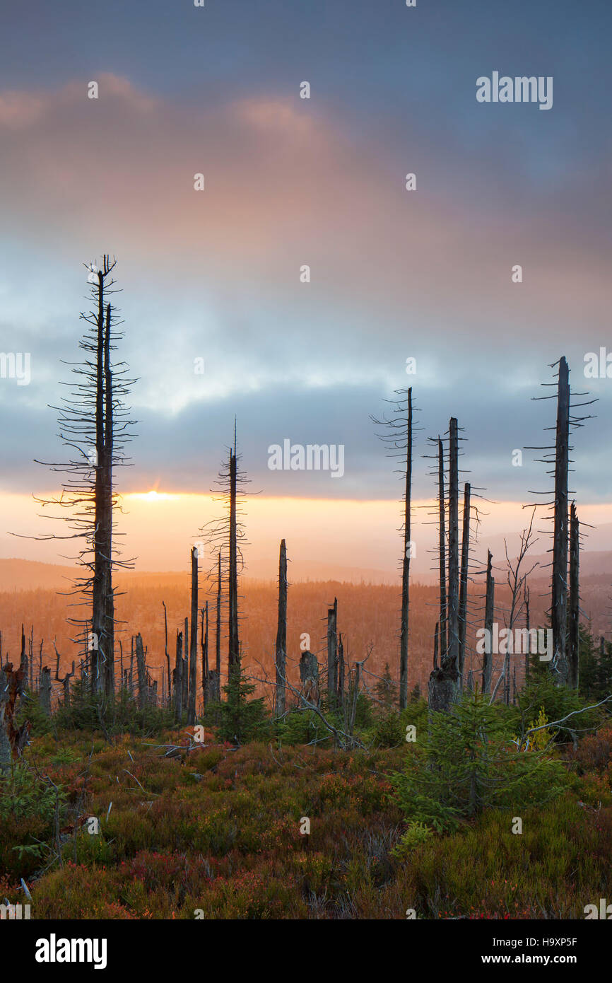 Broken dead spruce trees afflicted by European spruce bark beetle (Ips typographus L.) infestation at Lusen in autumn, - Stock Image