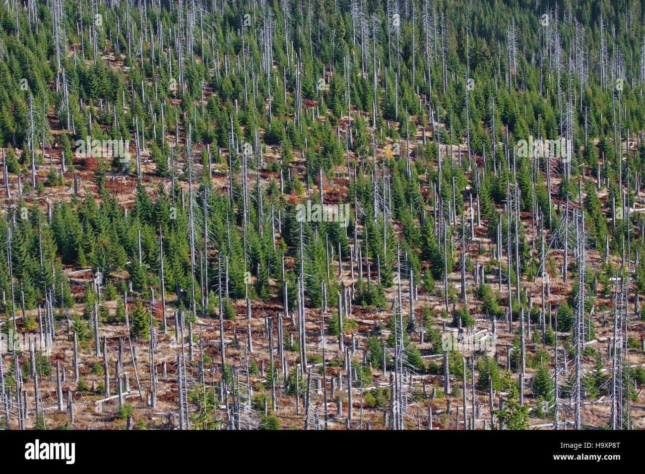 Broken dead spruce trees afflicted by European spruce bark beetle (Ips typographus L.) infestation at Lusen, Bavarian - Stock Image
