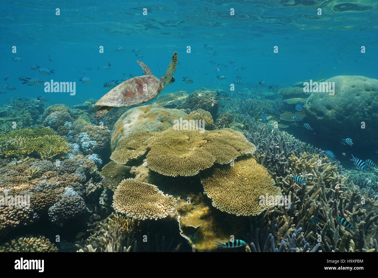 Shallow coral reef underwater with a green sea turtle and fish, New Caledonia, south Pacific ocean - Stock Image