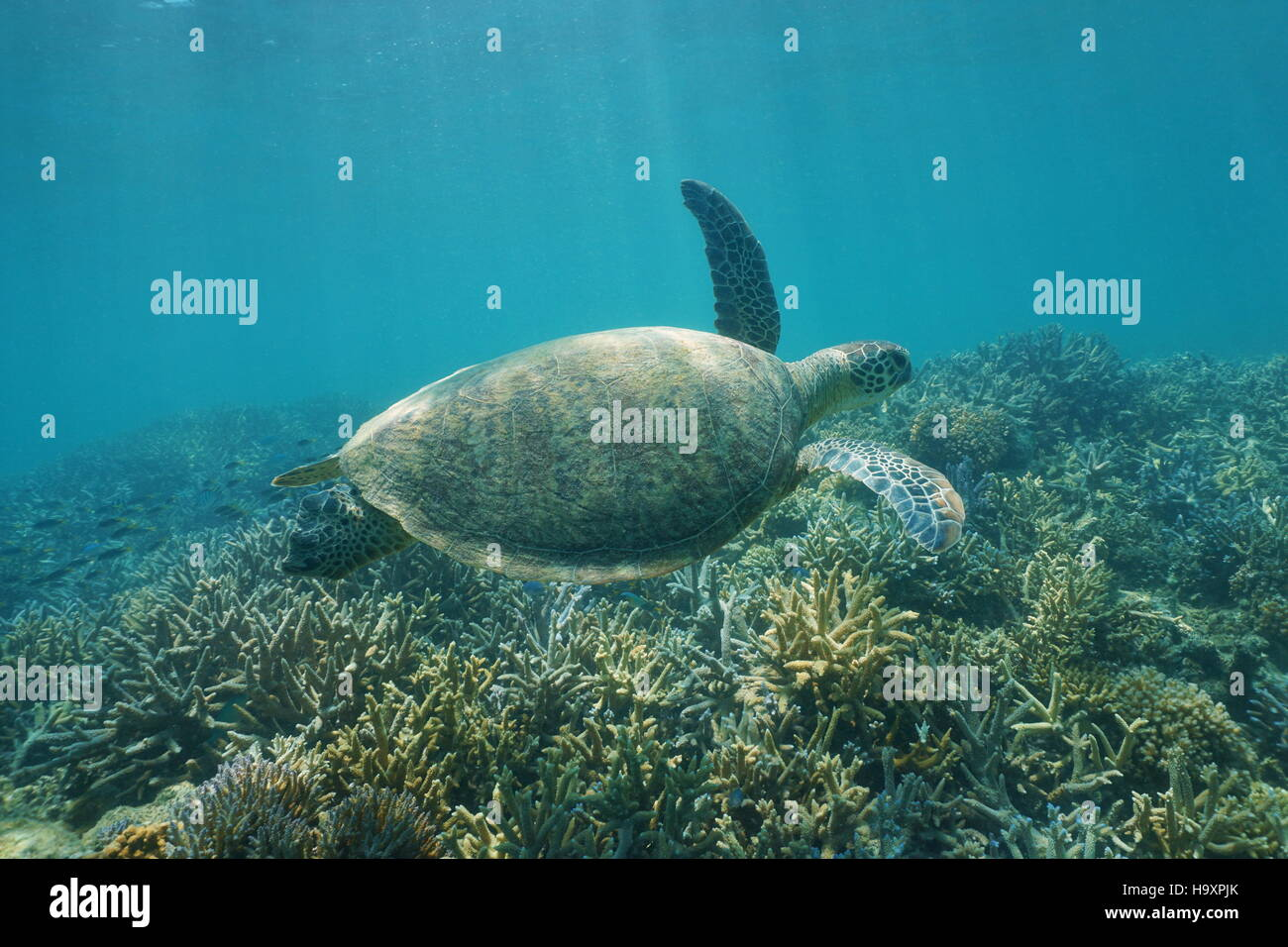 Underwater green sea turtle, Chelonia mydas, swimming over a coral reef, New Caledonia, south Pacific ocean Stock Photo