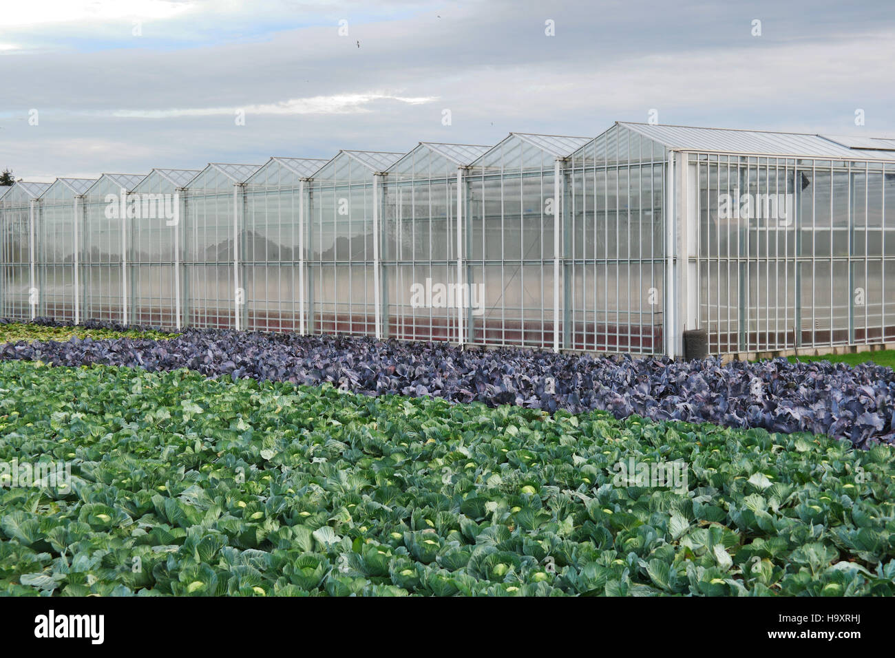 White and red headed cabbage Field in front of greenhouses in The Netherlands. - Stock Image