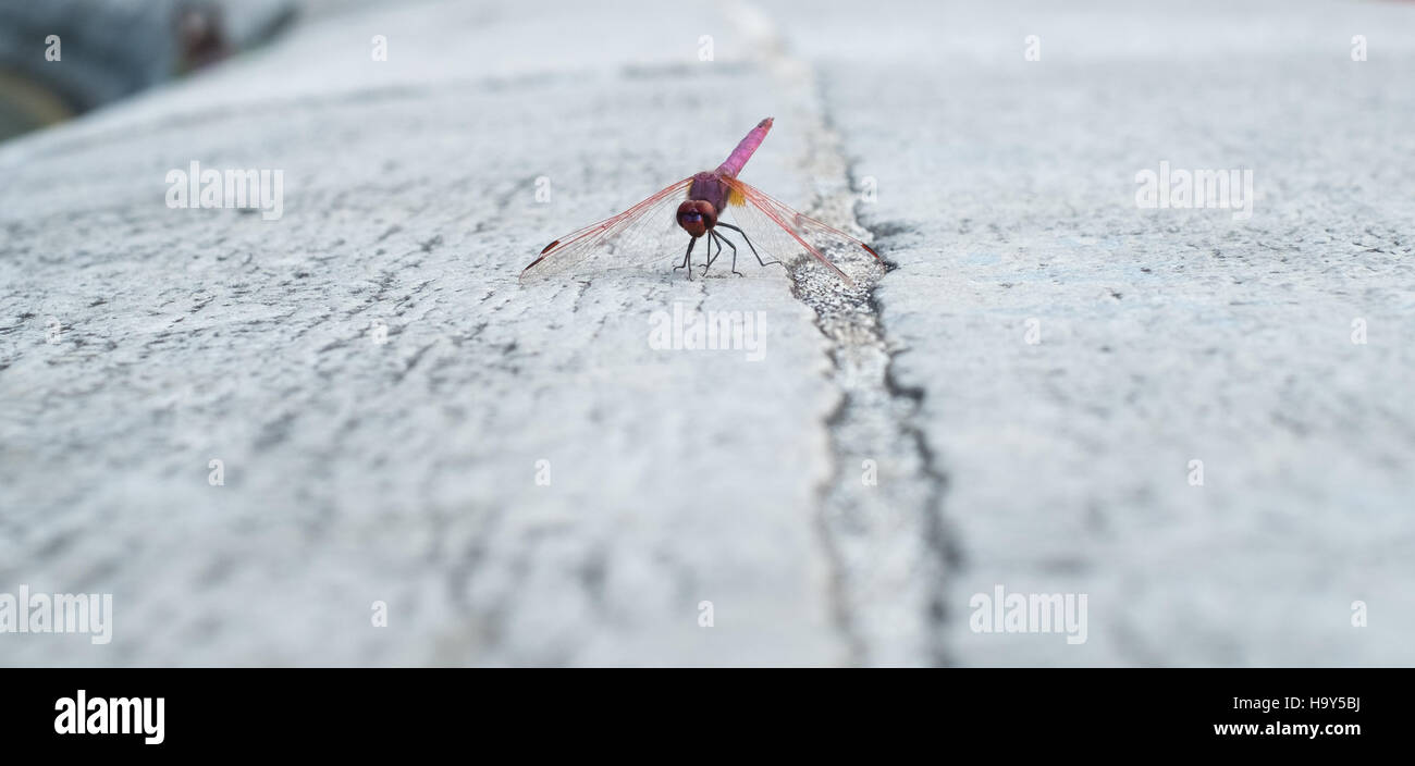 Dragonfly settled on white stone Stock Photo