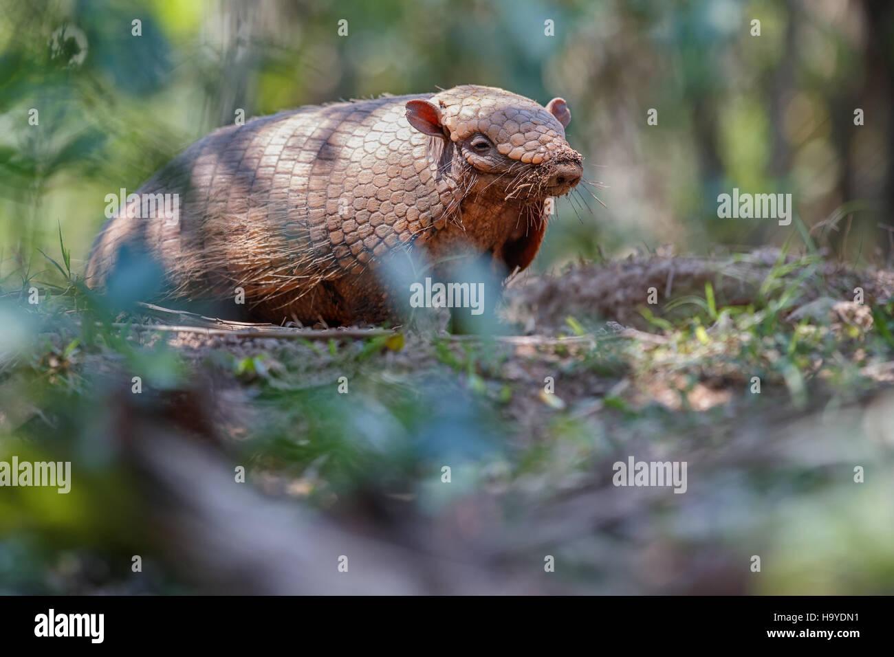 Animal Suriname Stock Photos & Animal Suriname Stock ...