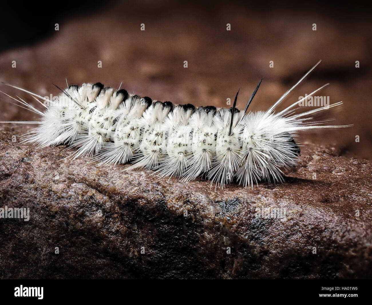 Poisonous white Hickory Tussock Moth Caterpillar on wet rock white spikes - Stock Image