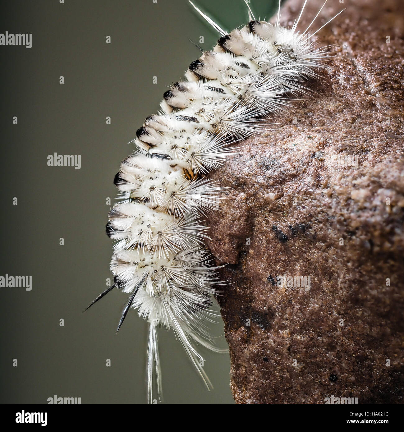 Poisonous white Hickory Tussock Moth Caterpillar on wet rock - Stock Image