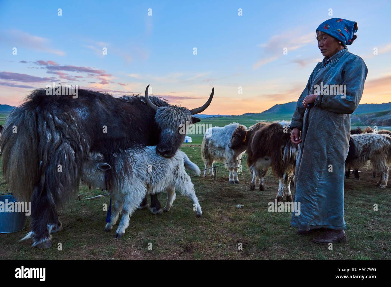 Mongolia, Bayankhongor province, nomad camp, yak milking - Stock Image