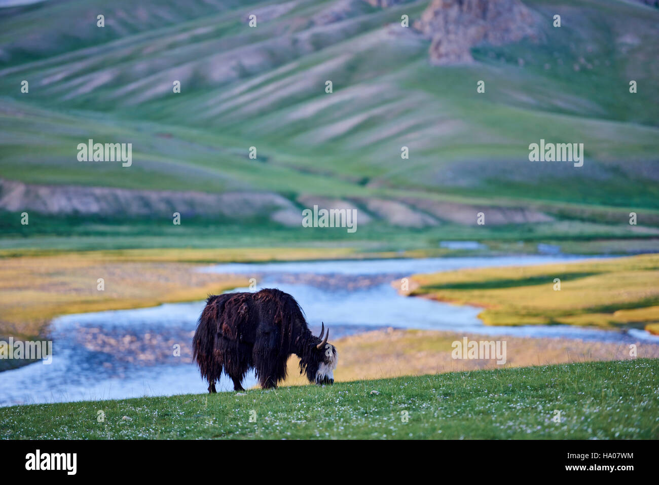 Mongolia, Bayankhongor province, an yak in the steppe - Stock Image