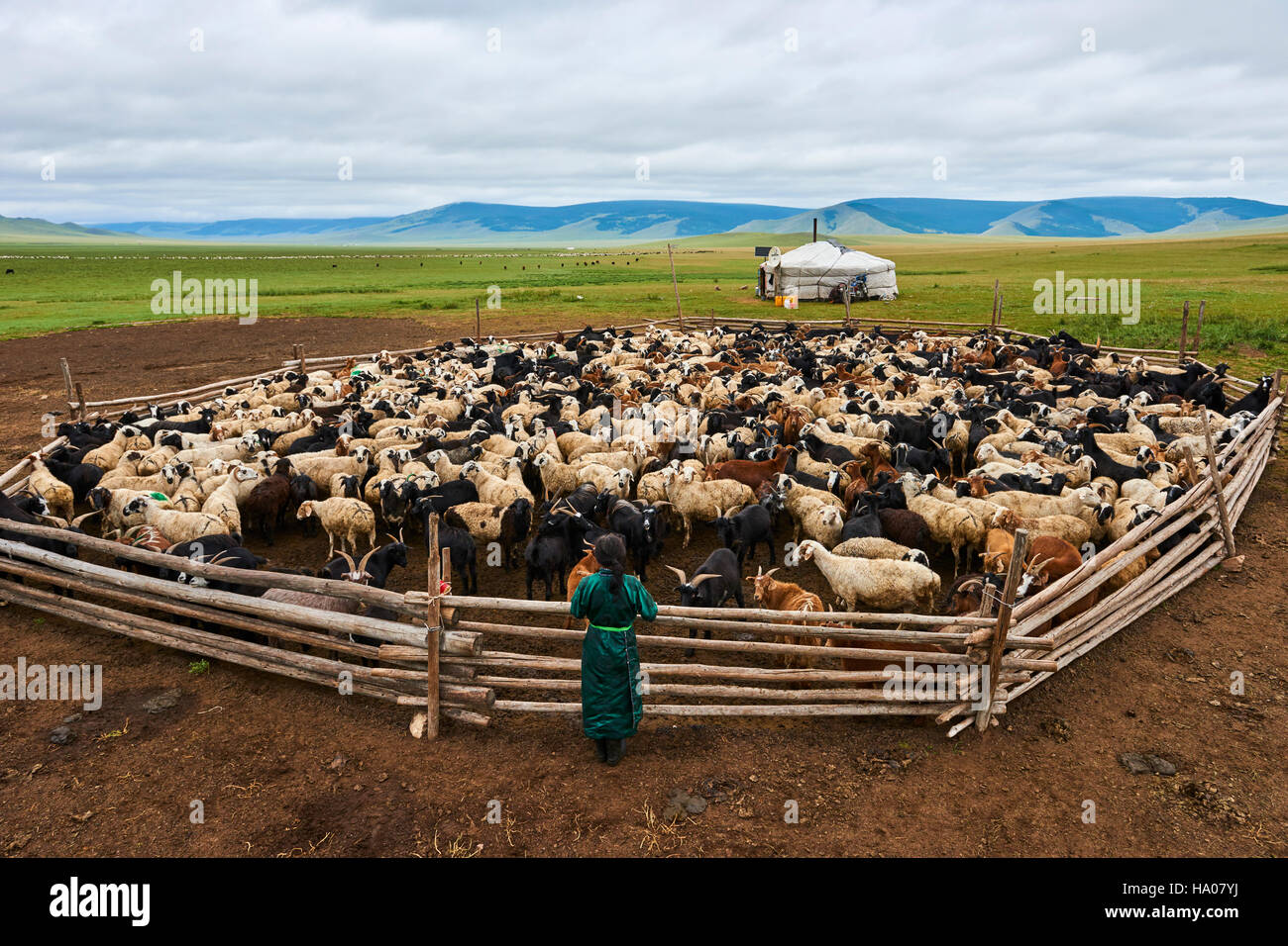 Mongolia, Arkhangai province, nomad camp, sheep herd - Stock Image