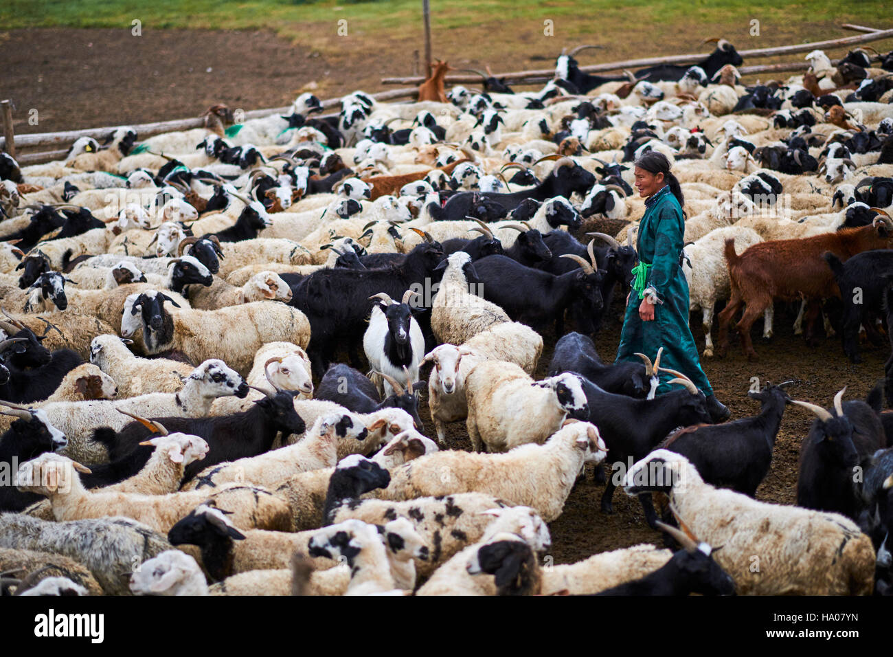 Mongolia, Arkhangai province, nomad camp, sheep herd Stock Photo