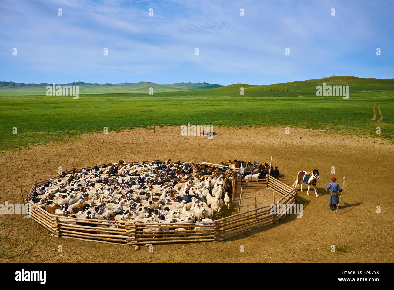 Mongolia, Arkhangai province, nomad camp, sheep herd leaving the stockyard - Stock Image