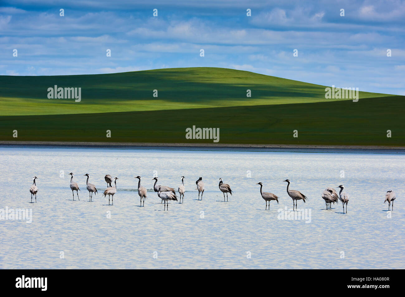 Mongolia, Khentii province, a groupe of cranes at the white lake Stock Photo