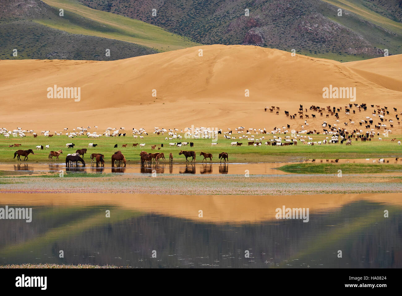 Mongolia, Zavkhan province, Khar Nuur lake, sheep and horse herd Stock Photo