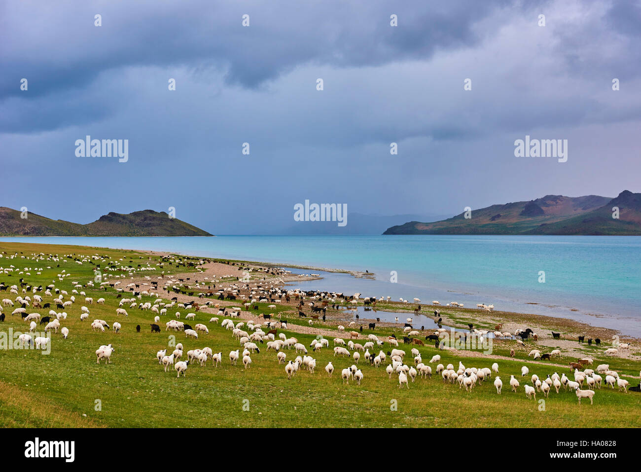 Mongolia, Zavkhan province, Khar Nuur lake, sheep herd - Stock Image