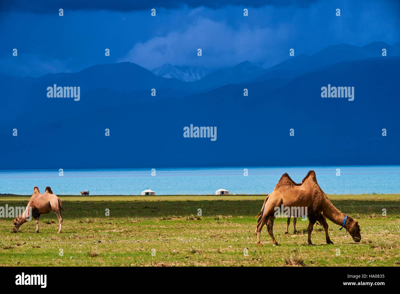 Mongolia, Uvs province, western Mongolia, camel herd at the lake Uureg Nuur - Stock Image