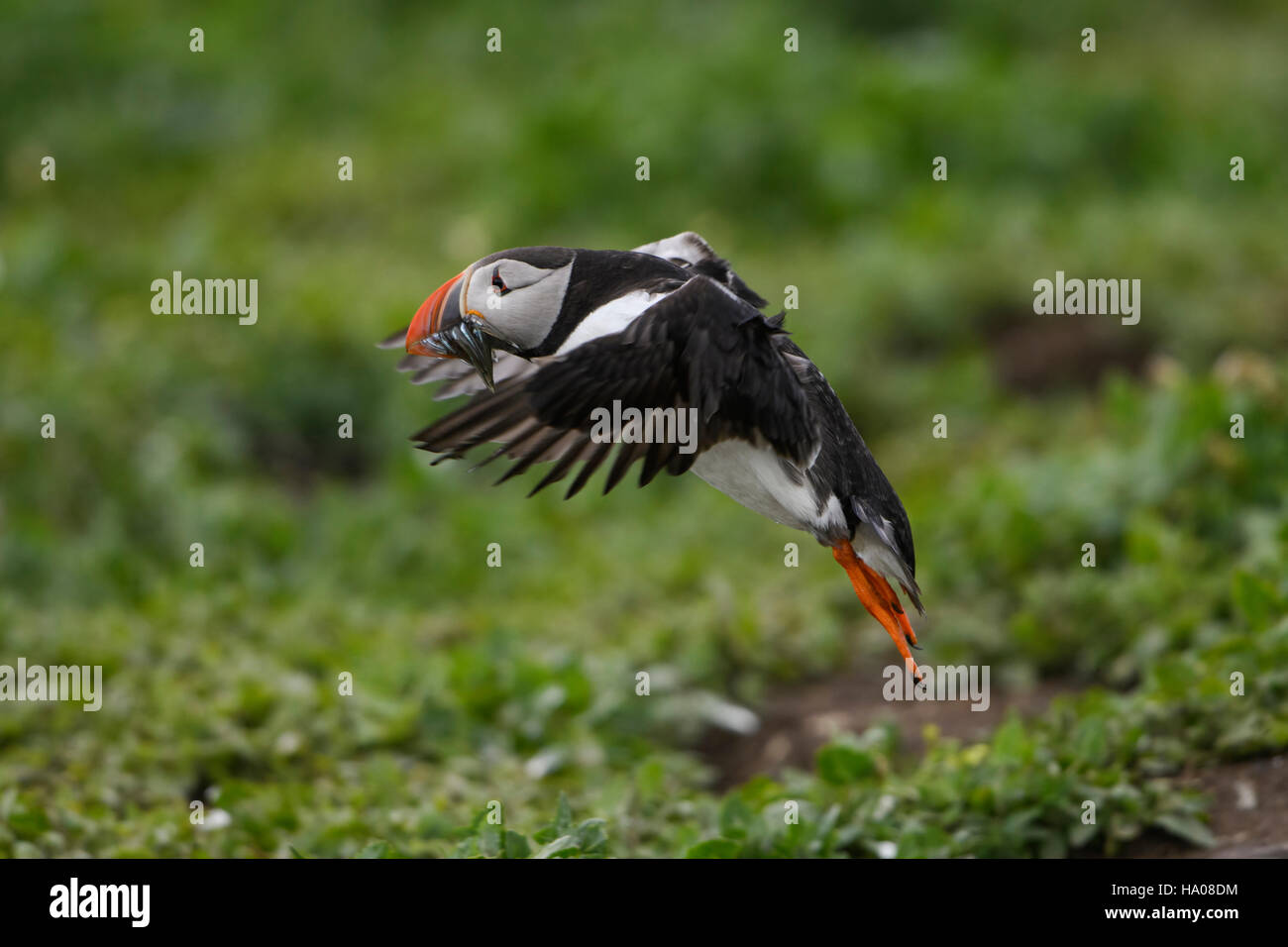 An atlantic puffin (Fratercula arctica) in flight with a beak full of sandeels for young, Farne Islands, Northumberland, UK Stock Photo
