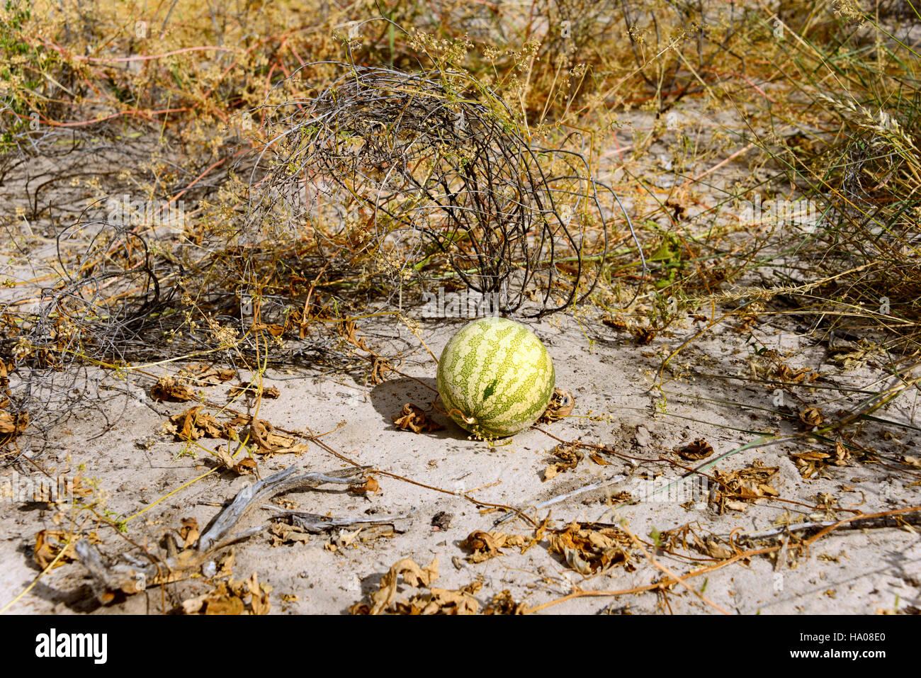 Namib tsamma (Citruilius ecirrhosus) in Central Kalahari Game Reserve, Botswana - Stock Image