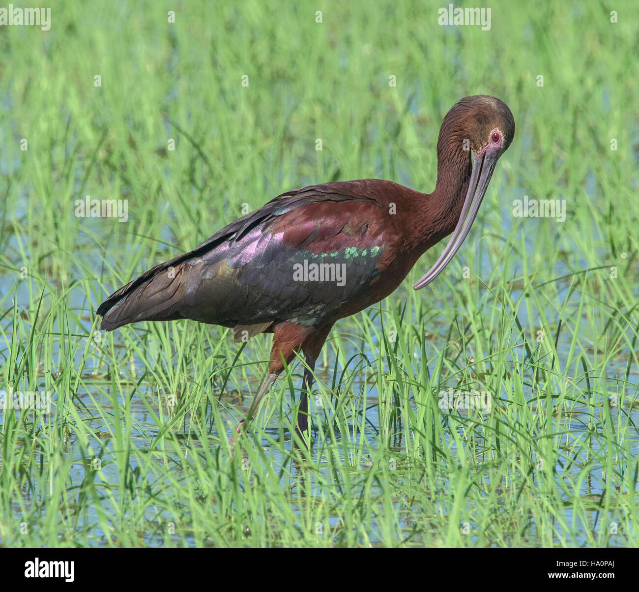 White-faced Ibis in Rice Paddy - Stock Image