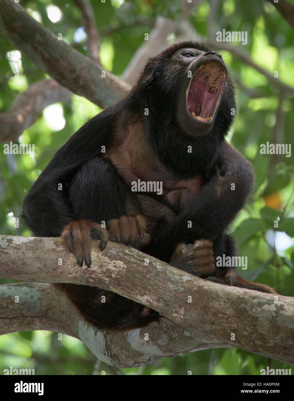 Red-handed howler Monkey howling - Stock Image