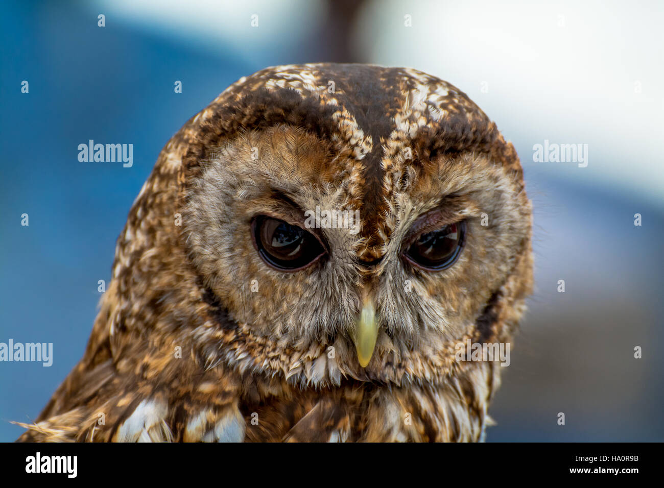 Close-Up Of Owl Head - Stock Image