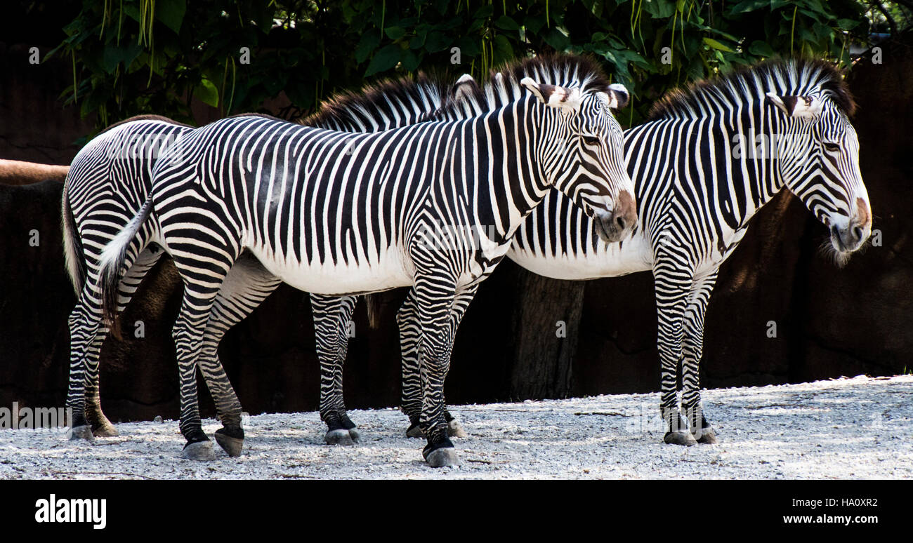 Zebras  blending in - Stock Image