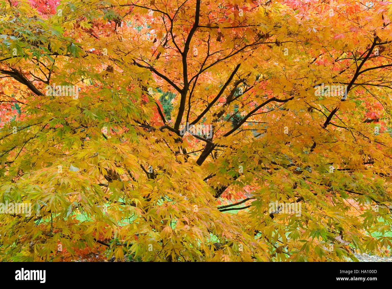 ACER PALMATUM HESSEI JAPANESE MAPLE AUTUMN FOLIAGE Stock Photo