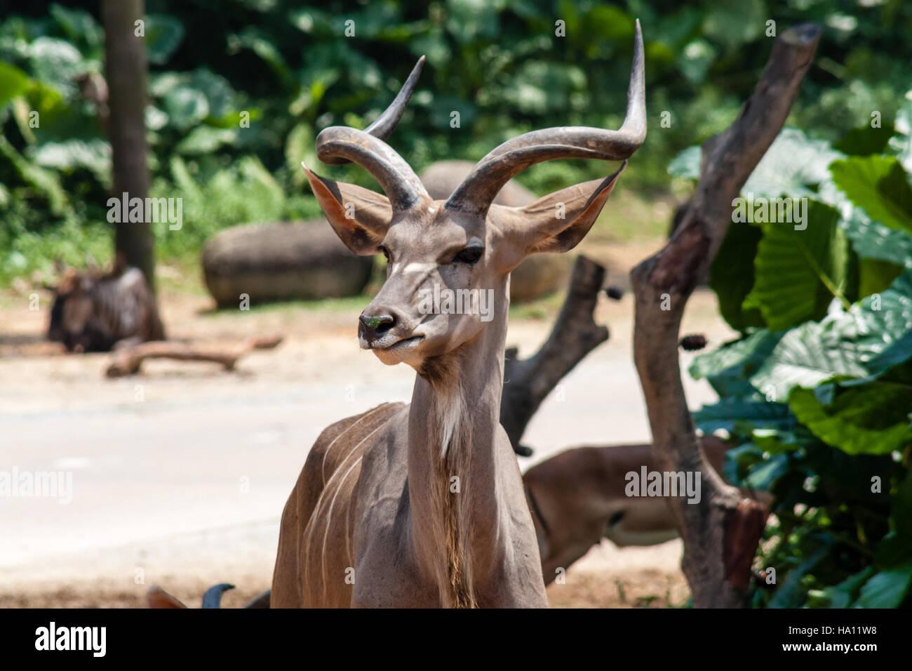 The Wild Antelope Family Grass Greater Kudu - Stock Image