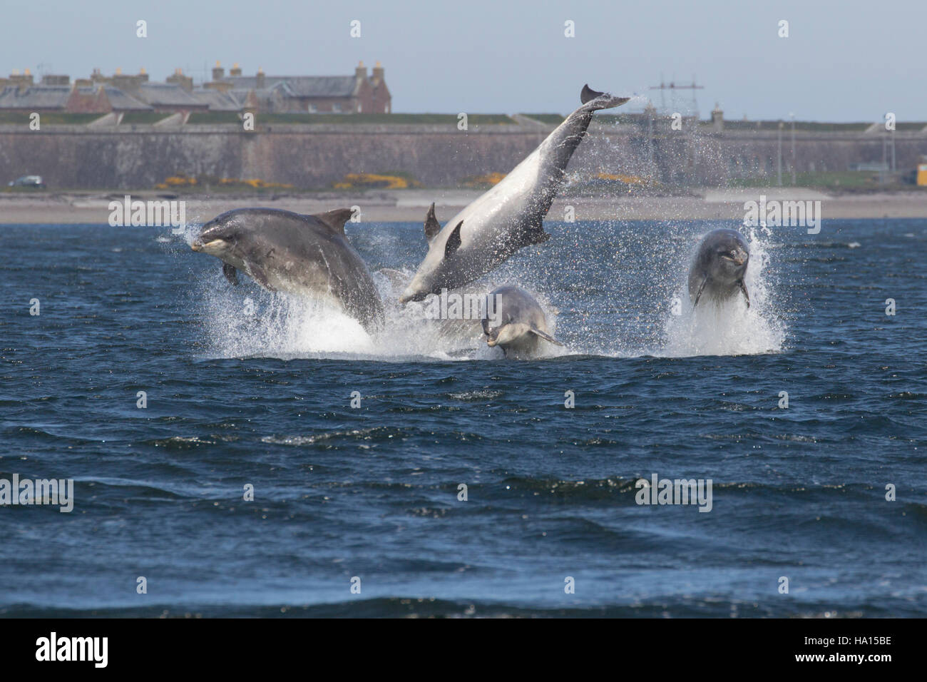 Bottlenose dolphins (Tursiops truncatus) breaching, jumping, leaping, Chanonry Point, Moray Firth, Scotland, UK - Stock Image