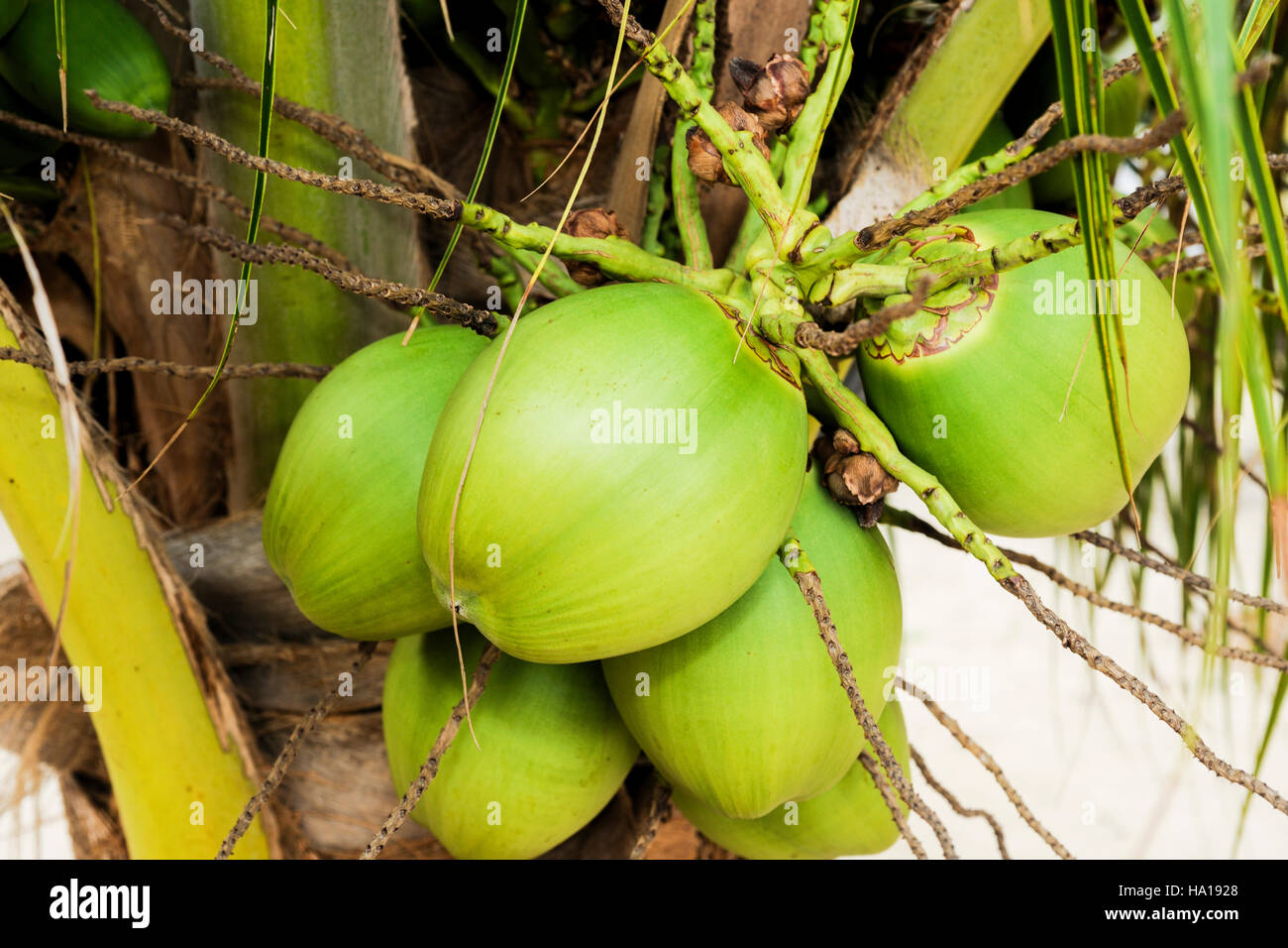 a bunch of coconuts on a palm tree Stock Photo