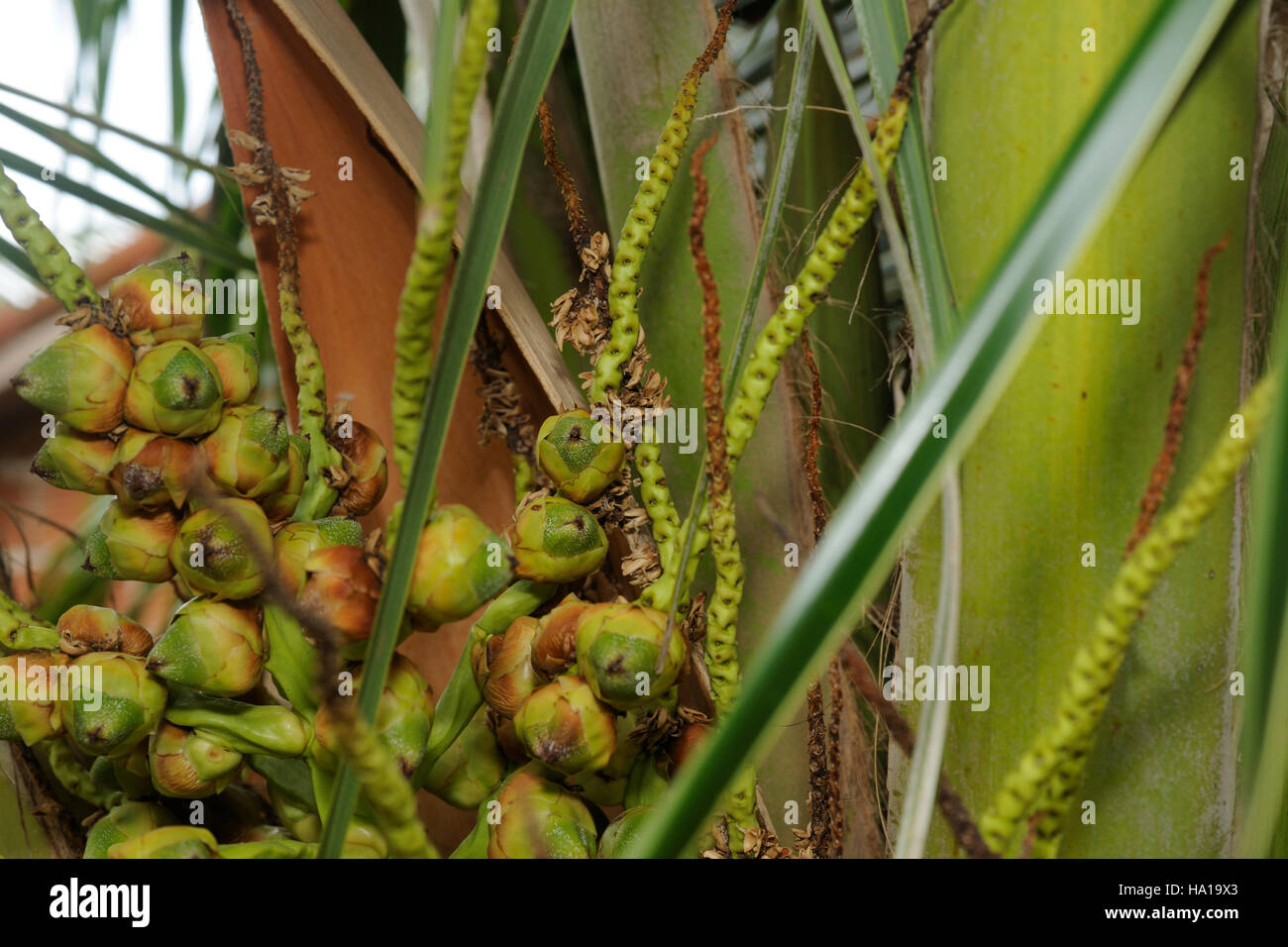 Young coconut buds on a panicle on a palm tree Stock Photo
