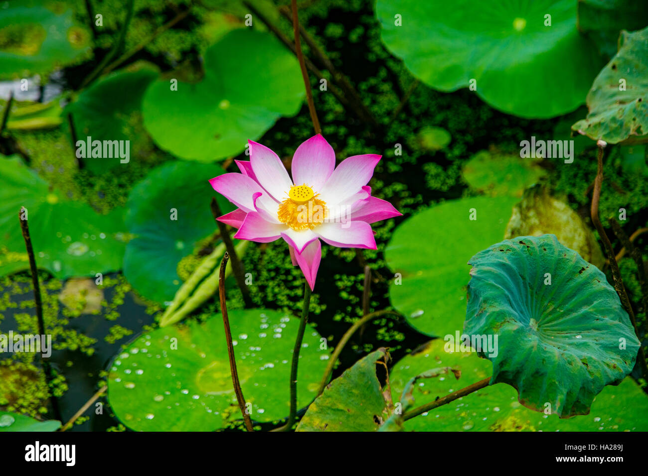 Lotus Blossom Flower Ving Trang Pagoda Vietnam Asia Stock Photo