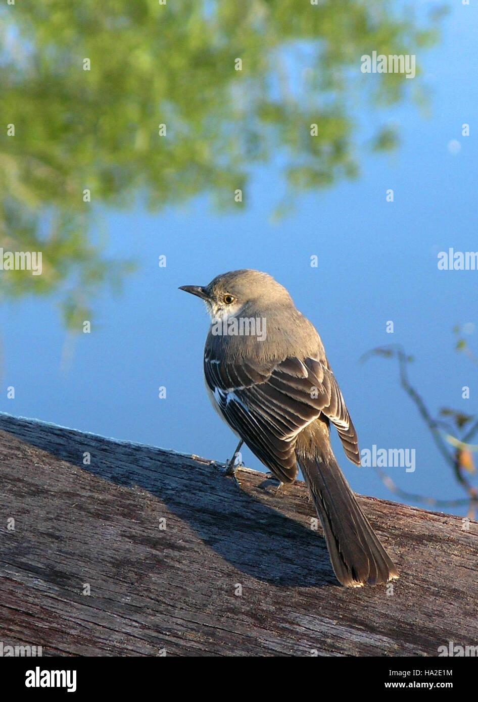 everglades Mocking Bird - Stock Image