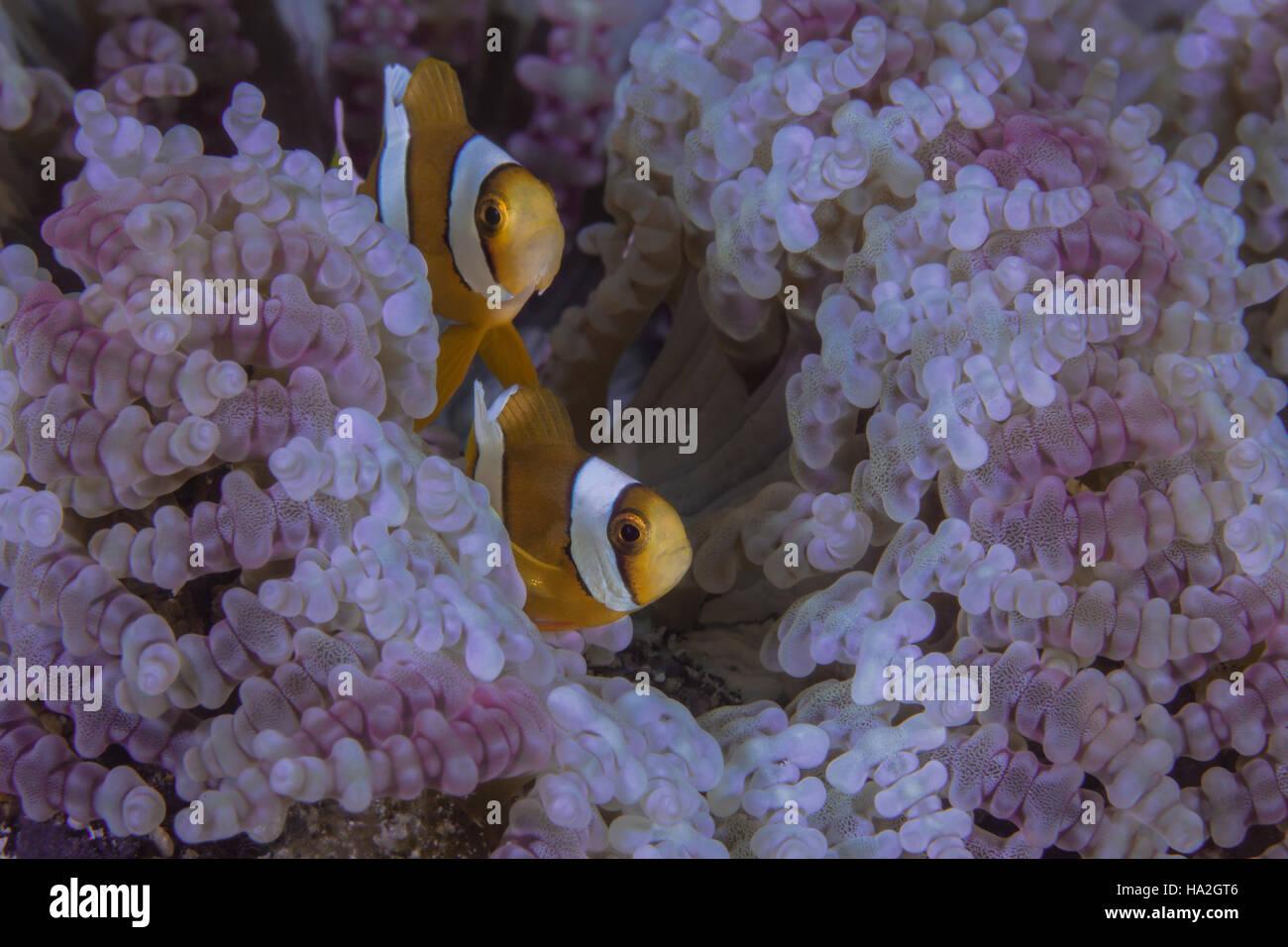 Orange clownfish peer from purple beaded tentacles of carpet anemone - Stock Image