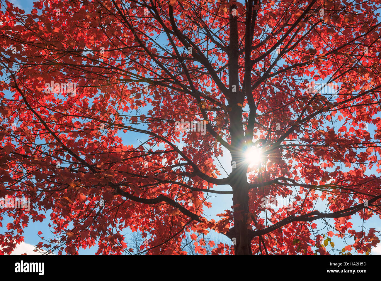 Autumnal ornament, red leaves of maple - Stock Image