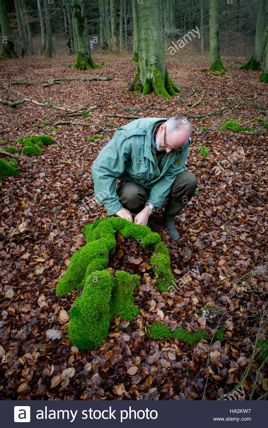 A tree stump at Peter Wohlleben's feet being kept alive by the surrounding community of Beech trees. Hümmel, - Stock Image