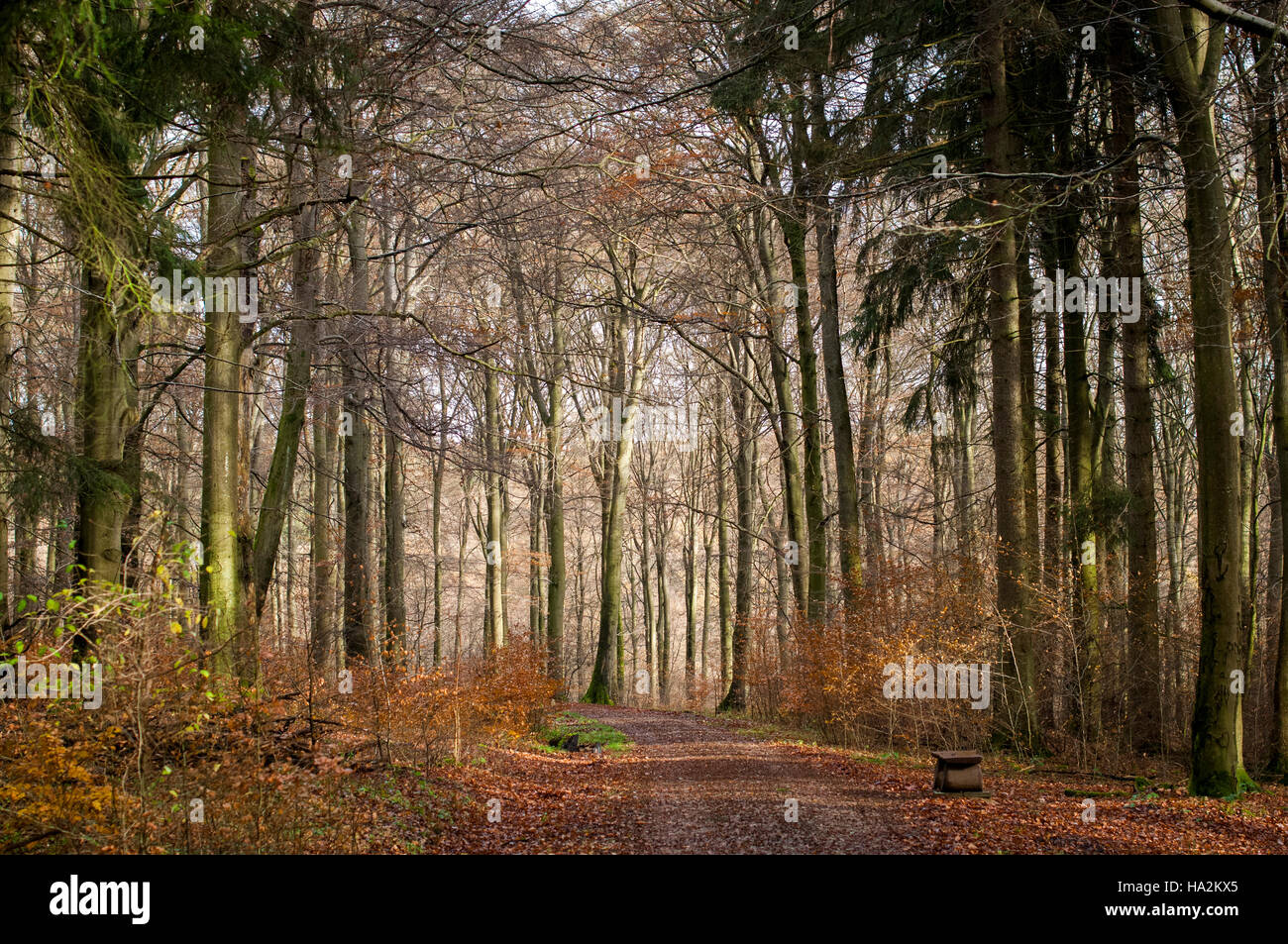 Author & Forester Peter Wohlleben manages this 4000 year old beech forest for the community of Hümmel, - Stock Image
