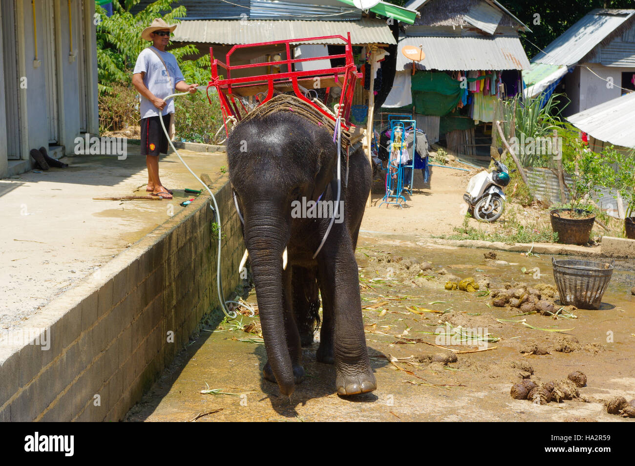 PHUKET, THAILAND - MARCH 28, 2016: baby elephant after washing at a hot day. - Stock Image